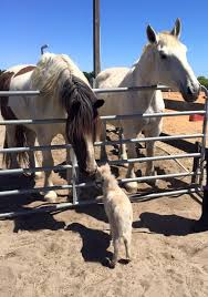 Dream Catchers Horse Ranch Let Pegasus the Orphaned Miniature Horse Capture Your Heart Wide 85