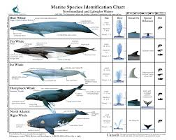 Marine Species Identification Chart Fin Whale Blue Whale