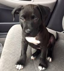 white and black pitbull puppies. Delighful Pitbull Black Pitbull Puppy Pitbull Puppies Pit Bull Puppy Pitbulls  White To And Puppies