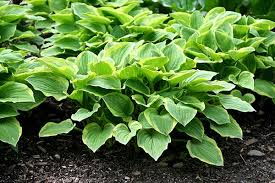 hosta poisoning in dogs signs causes