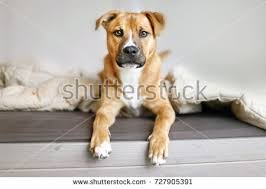 puppy dog on bed shepherd mixed breed makes funny face lying on sofa at home