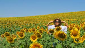 a anese tourist in the sunflower fields of carmona sevilla
