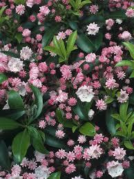 Best Shrubs For Mediterranean Gardens In Cool CountriesShrub With Pink Flowers