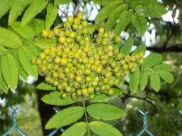 Active Citizens Fruit Tree Identification WalkGreen Fruit Tree Identification