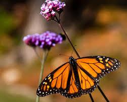 toledo zoo monarch butterflies found in central michigan toledo zoo monarch butterflies found in central