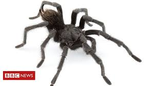 Black tarantula named after <b>Johnny Cash</b> - BBC News