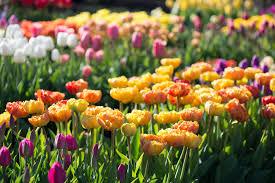 garden bulbs. Planting Tulip Bulbs In A Vegetable Garden - Longfield-Gardens-2.jpg