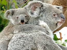 animals in zoo pictures. Delighful Animals Koala Mom With Joey Riding On Her Back Inside Animals In Zoo Pictures P