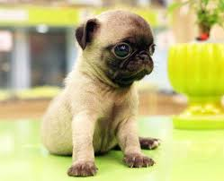 teacup pug full grown. Modren Pug Image Source On Teacup Pug Full Grown I
