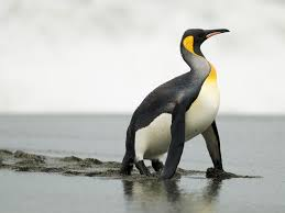 penguin. Perfect Penguin Penguin Evolution Intended