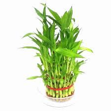 what makes bamboo plants turn yellow beautiful why is my bamboo plant turning yellow lucky bamboo