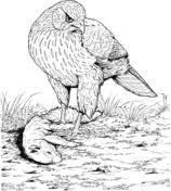 Small Picture Hawks coloring pages Free Coloring Pages