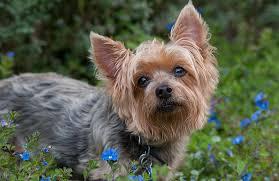 silky dog. silky terrier dog breed
