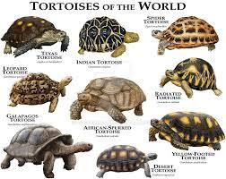 Leopard Tortoise Size Chart Tortoises Of The World By Rogerdhall On Deviantart Totally