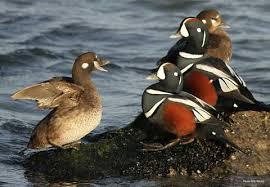 Types Of Ducks Geese Duck Identification