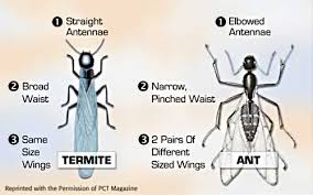 16+ Difference Between Termite And Flying Ant Images