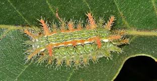 Stinging Caterpillars Identification Pictures Poisonous