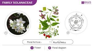 Solanaceae Fabaceae Liliaceae Overview Its Morphology