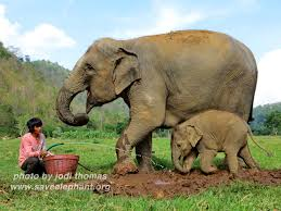 faa mai save elephant foundation online news baby elephant dok mai a photo essay of her first mud bath