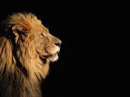 beautiful lion wallpaper ll
