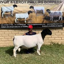 Leroy Phillips Dorpers - Agricultural Cooperative - Molteno, Eastern Cape |  Facebook - 44 Photos