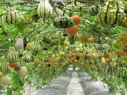 pumpkin gourd vines trellis this awesome vertical garden with hanging