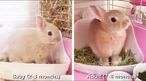 Full Grown Vs Baby Bunny Netherland Dwarf Rabbit Size Compare
