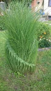 Tall Decorative Grass 17 Best Ideas About Ornamental Grasses On Pinterest Landscape