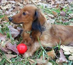 dachshund breeders nc dachshund breeder