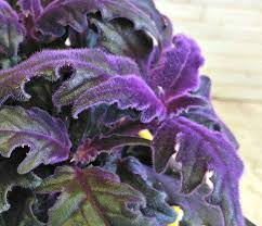 Follage plant hairy light purple