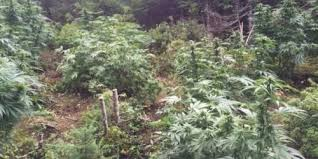 How Order Cannabis : Sally's Cove | Newfoundland and Labrador | Canada  Online - conniecolin.com