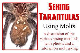 Sexing Tarantulas Using Molts Toms Big Spiders