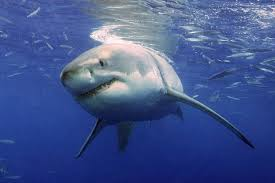 shark com has queensland really saved lives by killing thousands facts about great white sharks
