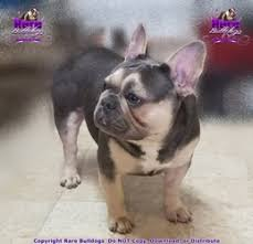 Rare Bulldogs Masters Of Color Expecting Moms