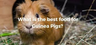 Guinea Pig Urine Chart What Can Guinea Pigs Eat Exoticdirect