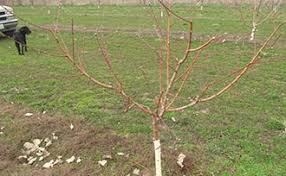 Training And Pruning Fruit Trees  7003  ExtensionExtensionPrune Fruit Tree