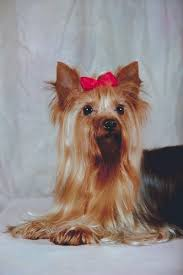 like other toy breeds yorkies are e to hypoglycemia or low blood sugar