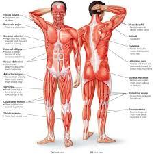 Groin Muscle Anatomy Diagram Groin Muscle Anatomy Diagram
