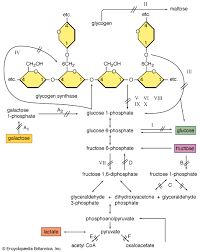 glycogenolysis biochemistry com various enzyme defects can prevent the release of energy by the normal breakdown of glycogen in
