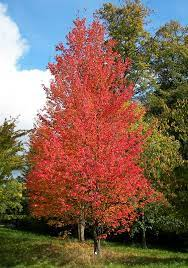 Red maple   plant