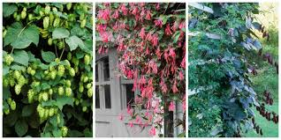 Shade Garden The Best Climbing Plants For Shady Garden Spots Wall Climbing Plants Australia