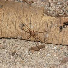 Arizona Spiders Identification Chart Arizona Brown Spider Packs One Heck Of A Punch Foothills
