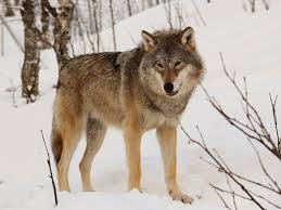 a eurasian wolf pictured at the polar zoo in bardu norway mas3cf wikia mons
