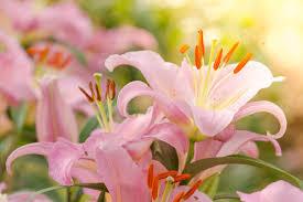 Fleur de Lys - Signification Des Fleurs