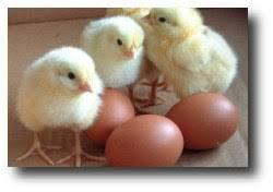 Сельское хозяйство Птицеводство самая перспективная и быстро развивающаяся отрасль животноводства Ростовской области Ежегодно производится более 1 млрд штук яиц