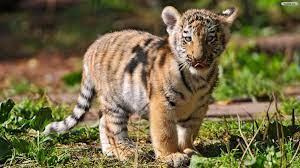 Wallpapers Cute Tiger Wallpaper - Baby ...