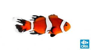 Ora Clownfish Ora Oceans Reefs Aquariums