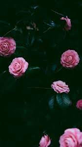 Many pink roses iPhone XS Max, X 8,7,6 ...