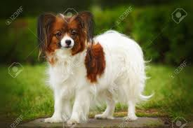 Beautiful Dog Breed Papillon Is In The ...
