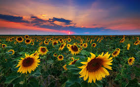 Flower field sunset Colorful Sunset Sunflower Field Flower Flowers Fields Sunsets Sunflowers Nature Desktop Wallpapers Natbgcom Flowers Sunset Sunflower Field Flower Flowers Fields Sunsets